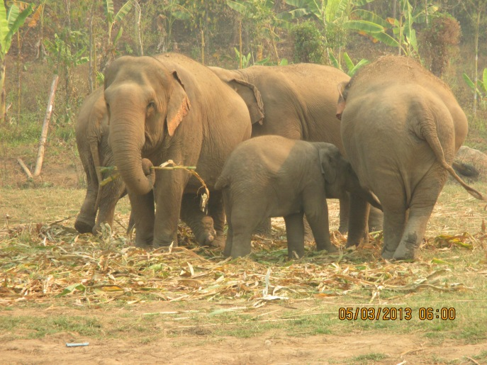One of the three families (herd) of elephants at Elephant Nature Park, in Thailand.