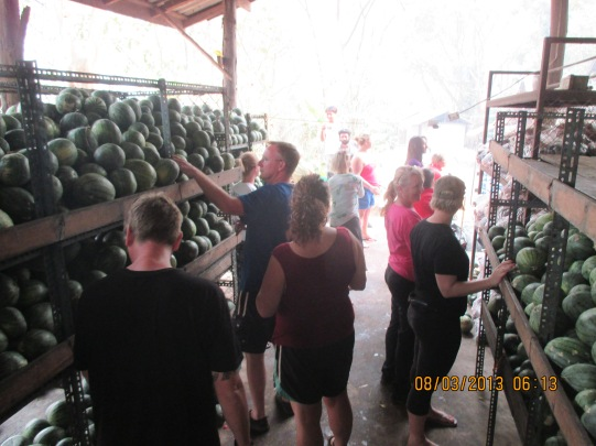 Unloading the daily watermelon truck - 4000 watermelons.