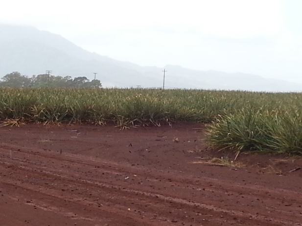 Pineapple fields (and the plastic mulch) extended for miles.