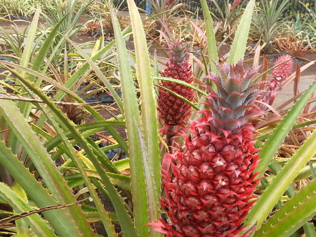 At the Dole plantation
