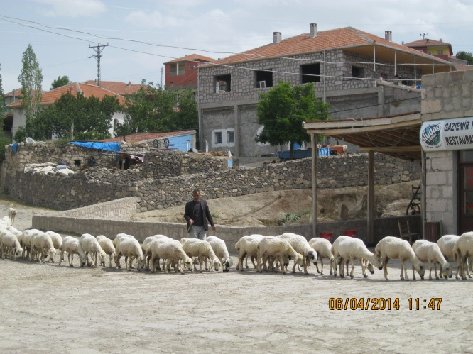 Sheep being herded down the main street of a small village