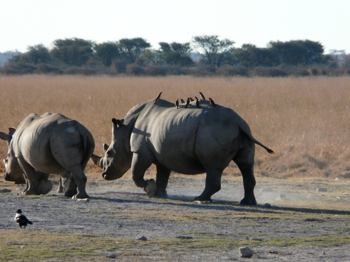 The birds get a free ride while they eat the bugs and insects off the rhinos.