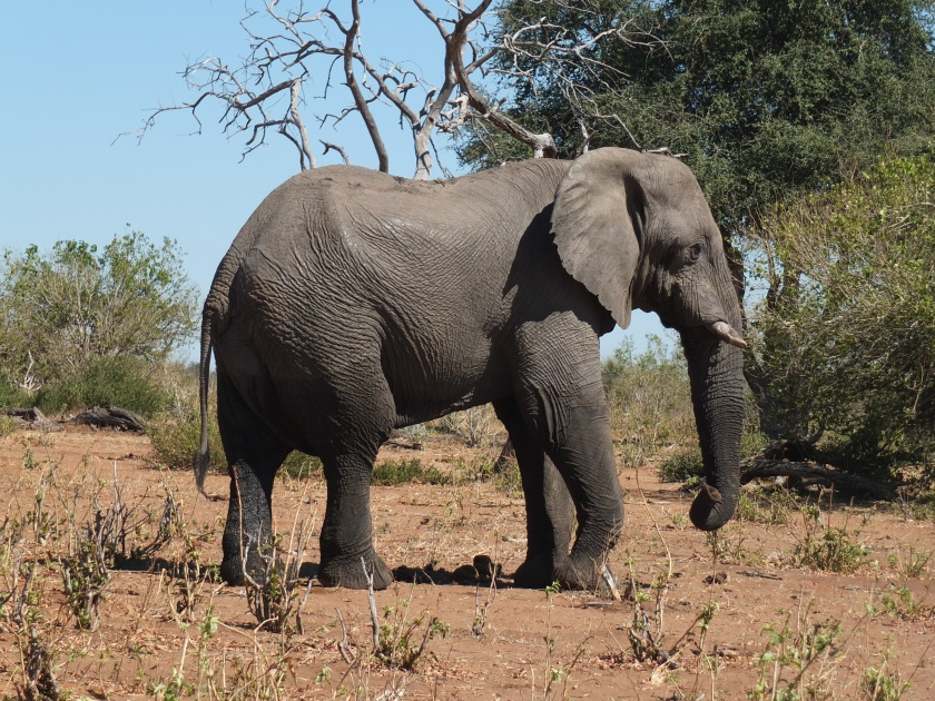 Image result for lone elephant created terror