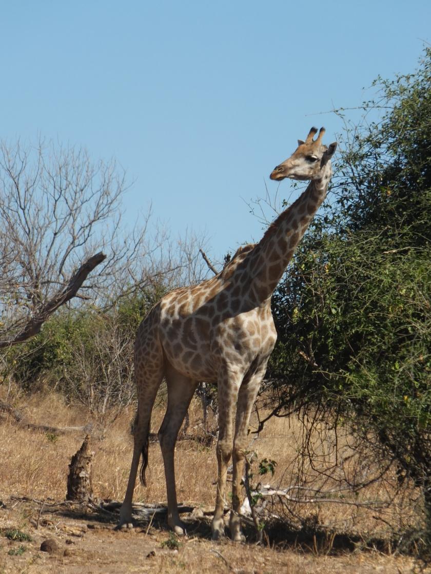 15. Nosey Giraffe