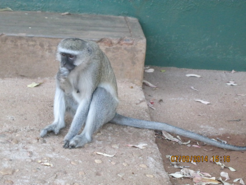 Monkey near a chalet in Zimbabwe